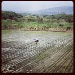 Les rizières de Beitou